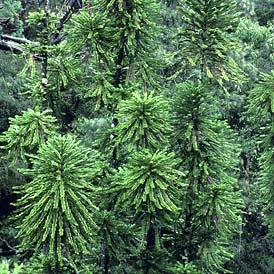 Wollemi-Pine-Blue-Mountains